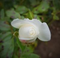 White rosebud unfurling
