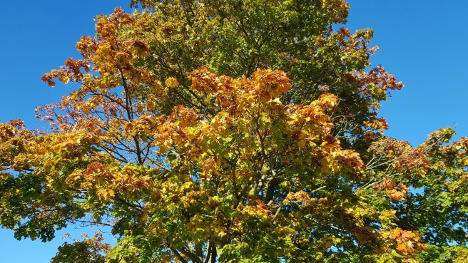 Autumn coloured tree set in a blue sky