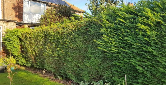 Evergreen hedge which needs cutting at the ends but not in the middle