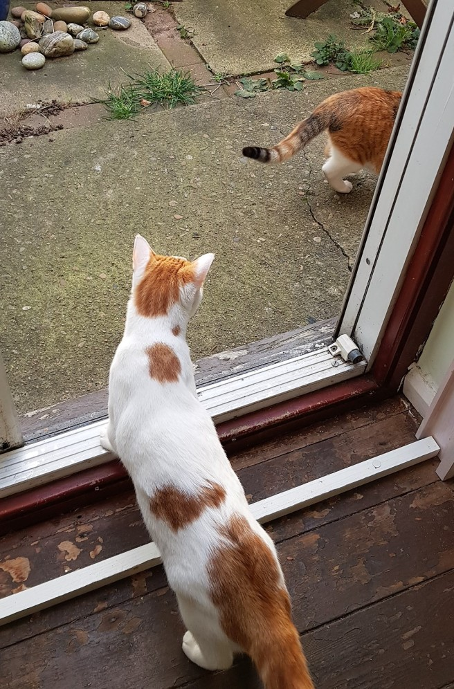 White and ginger cat in a doorway following a tortoiseshell cat outside