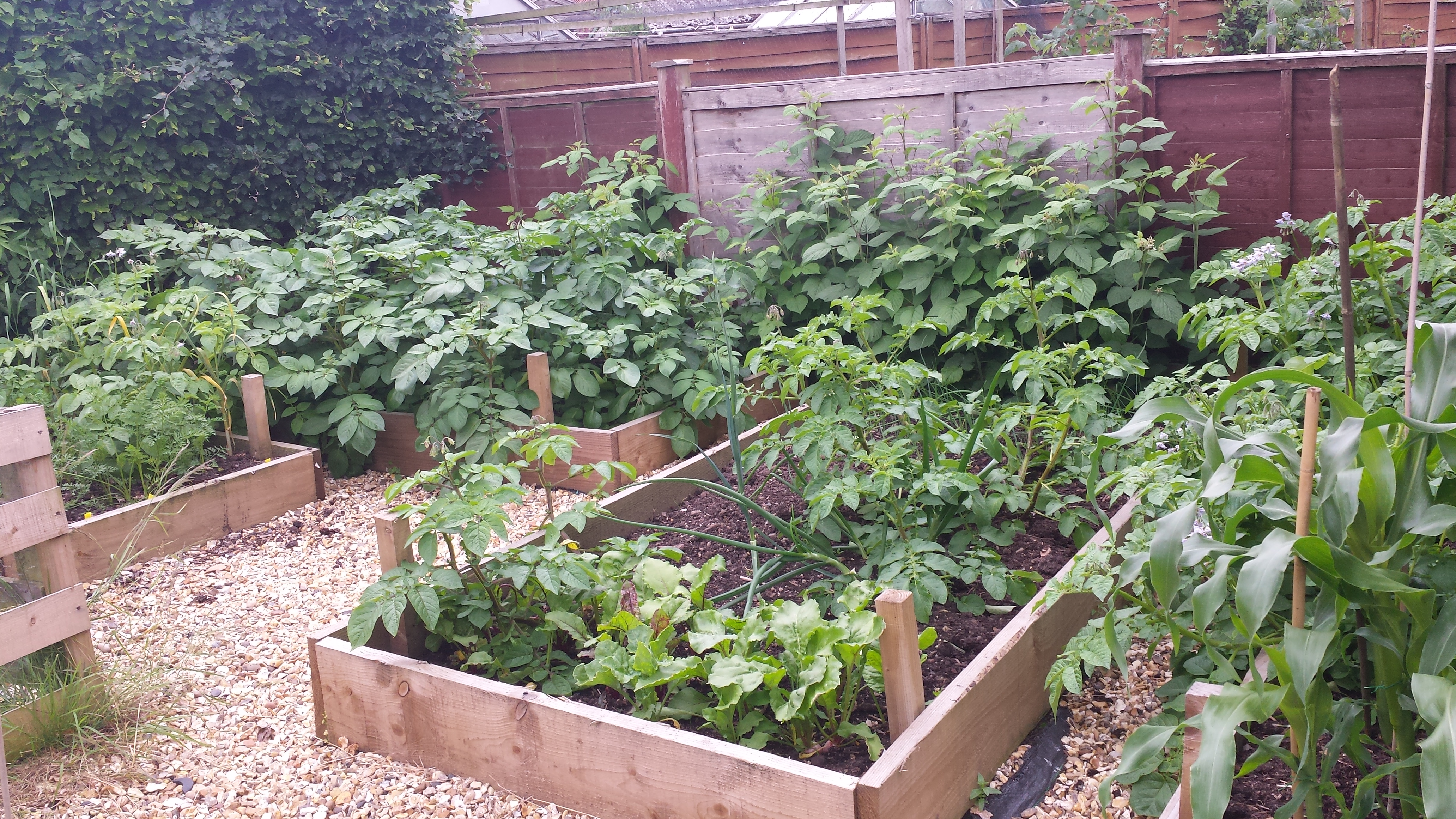Raised beds full of growing fruit and veg plants
