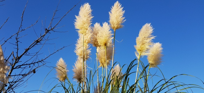 Large golden Pampas flowers against a clear blue sky