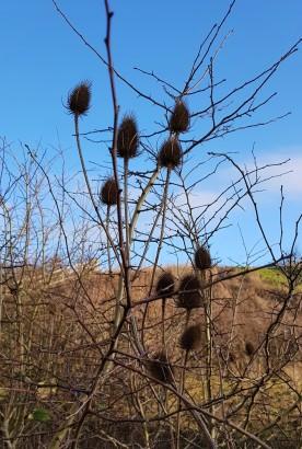 Spiky thistle seedheads against a blue sky
