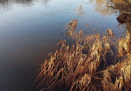 Straw reeds rising from the river and glowing in the sunshine
