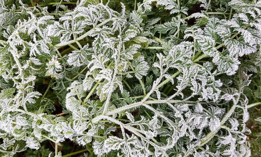 Carrot leaves covered in frost