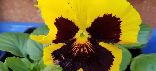 Yellow pansy in a blue planter