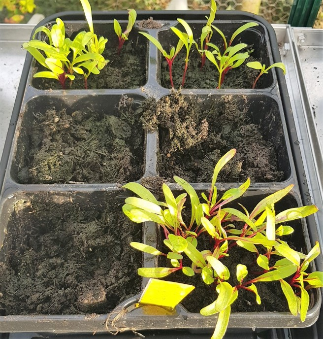 Lime green beetroot seedlings in a plastic seed tray