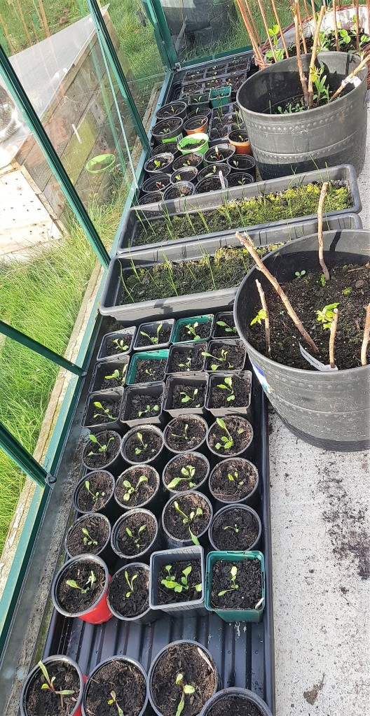 Trays of seedlings in black plastic containers