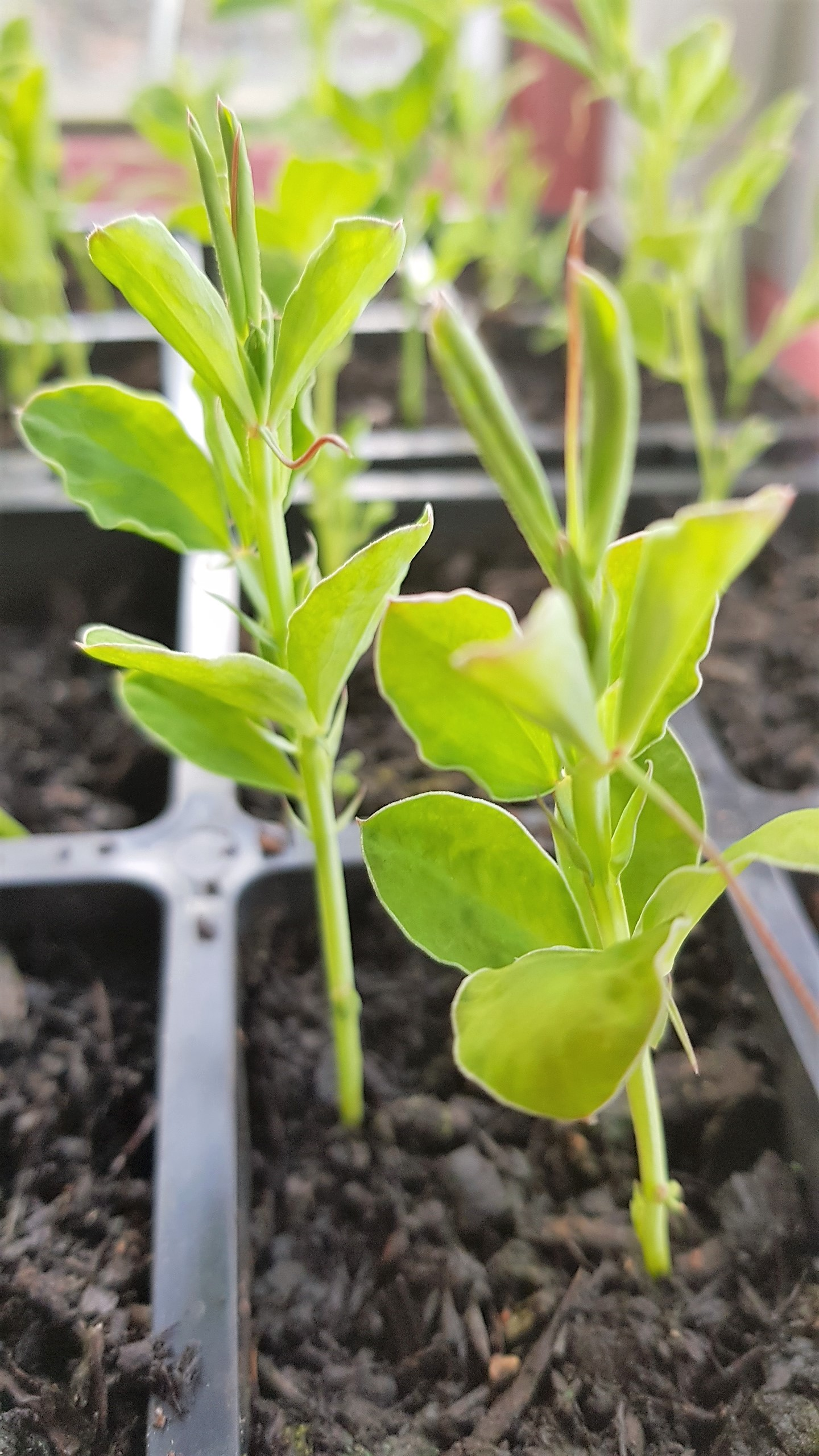Young sweetpea plants