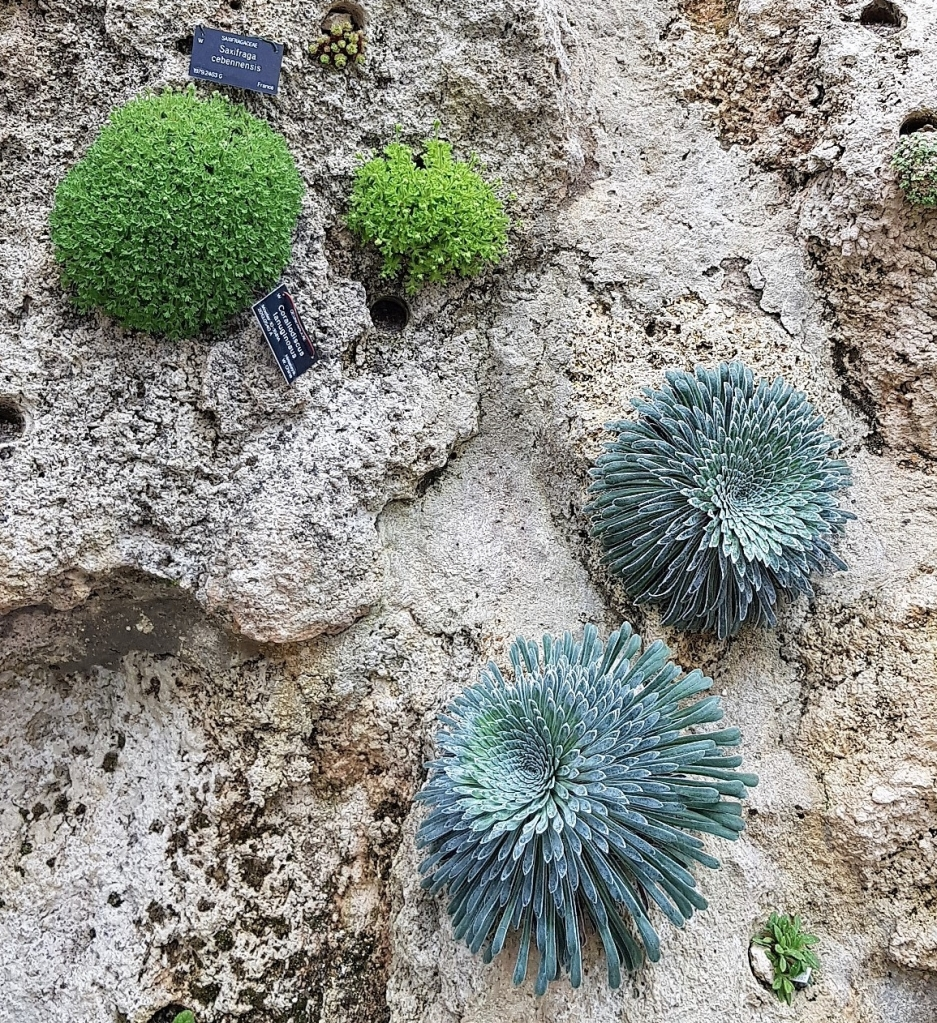 Green and blue alpine succulents growing out of a vertical stone wall