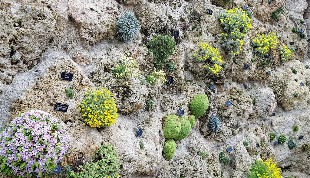 Various yellow, green and lilac alpine plants growing out of a vertical stone wall