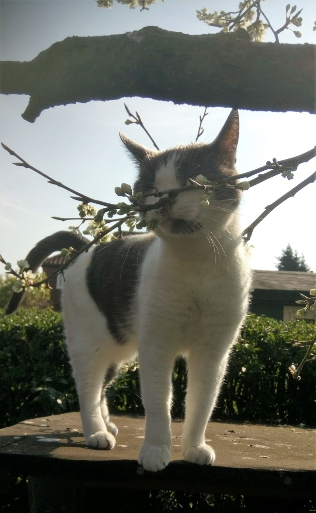 White and grey cat sniffing a branch of a plum tree