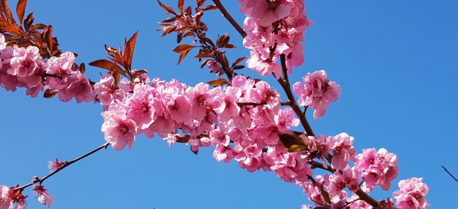 Pink cherry blossom set against a bright blue sky