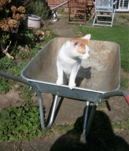 White and ginger cat in a wheelbarrow