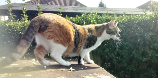 Tortoiseshell tabby and white cat on a woodshed roof
