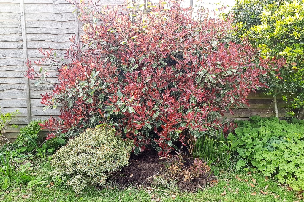Large Photinia Pink Marble with shrubs in front
