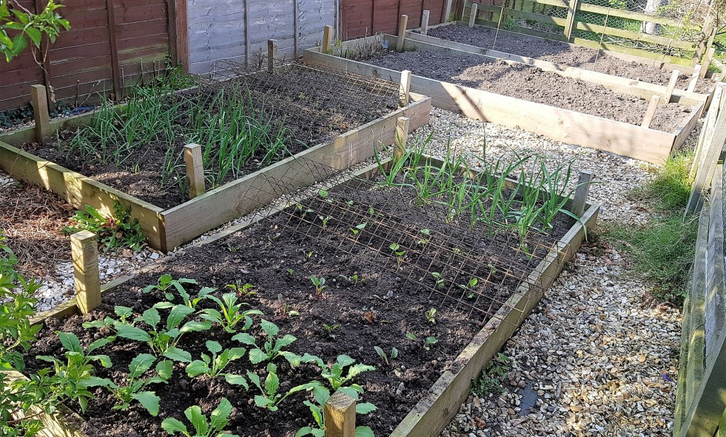 Veg patch with 4 raised wooden beds and gravelled paths