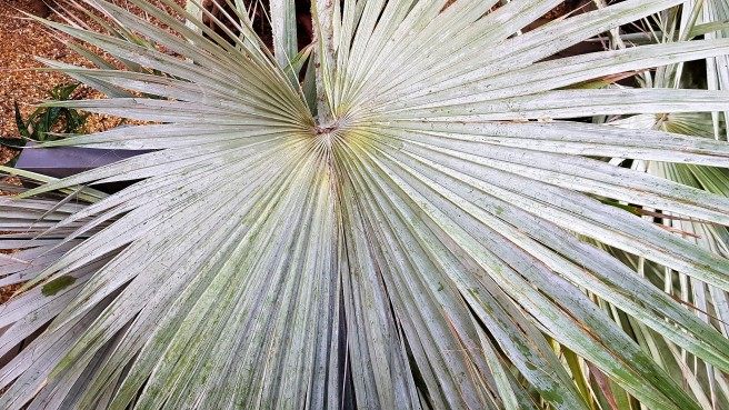 Large circular succulent leaf made up of grass-like sharp lengths