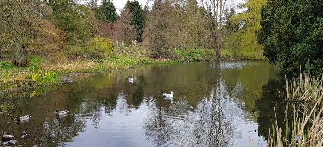 2 seagulls and 2 male mallard ducks on a large pond with reflections of the surrounding trees on the water