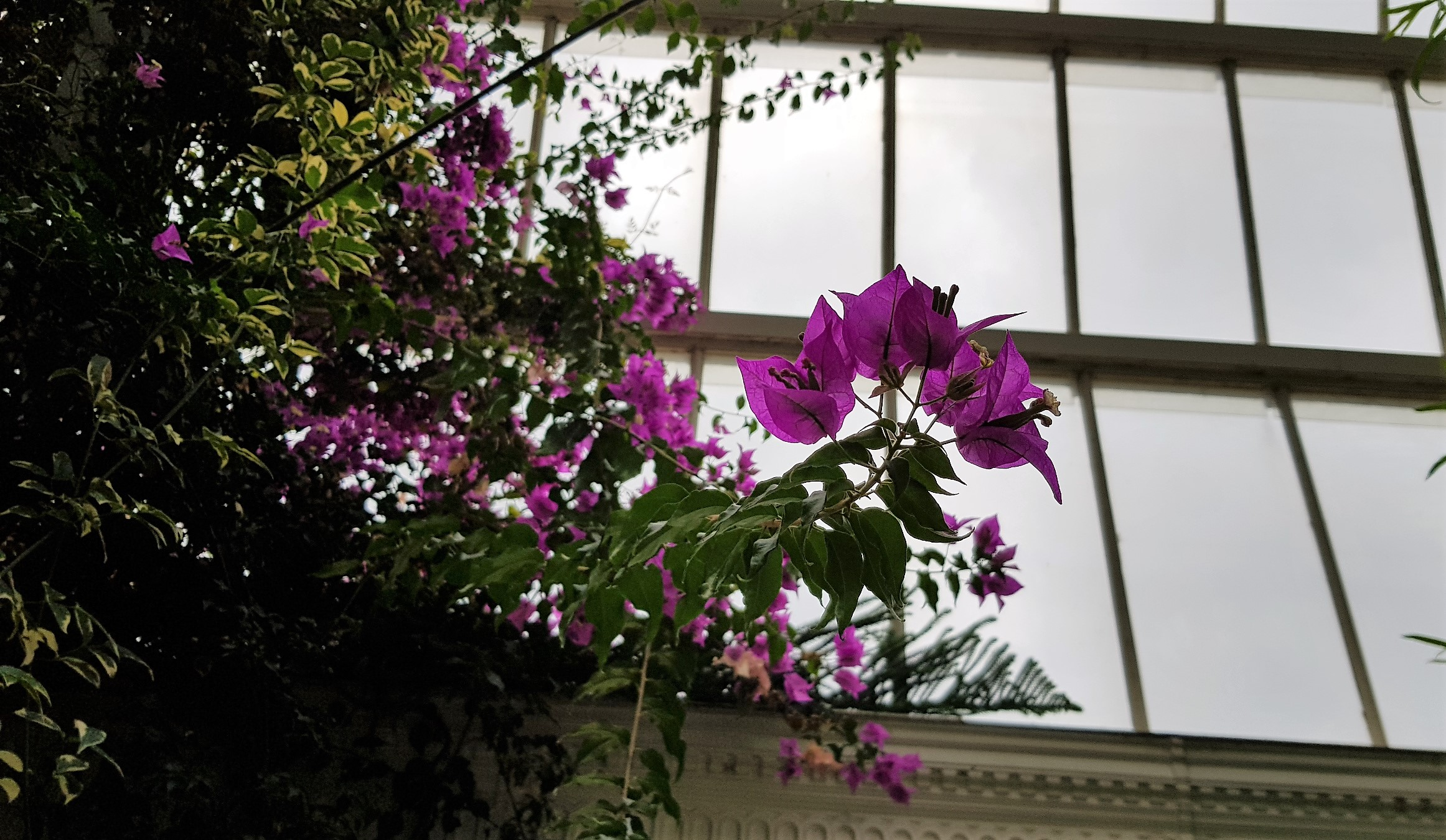Pink bougainvillea flowers against a glass backdrop