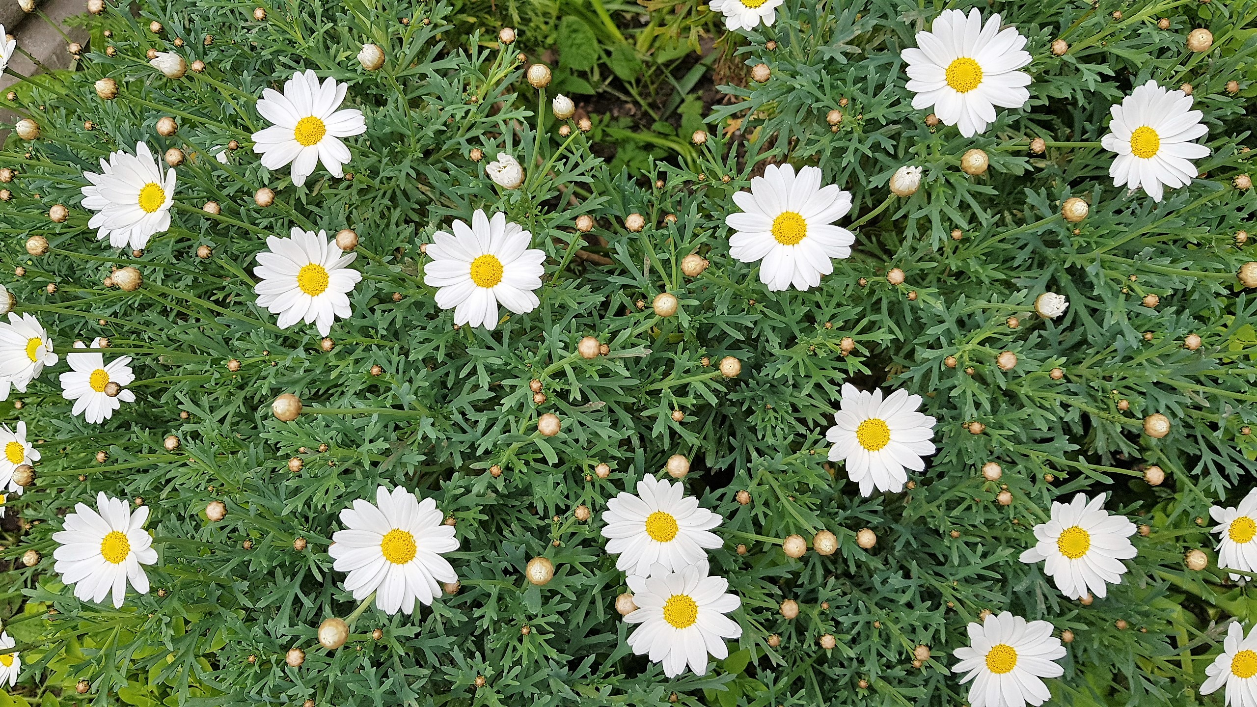 Large white daisies with yellow centres
