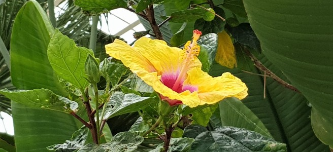 Yellow hibiscus flower with a pink centre