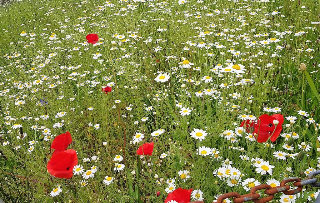 Long grass with tall daisies and red poppies