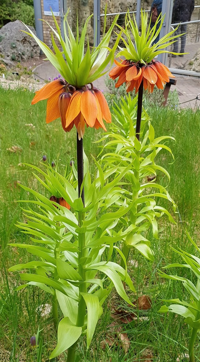 Orange bell-like flowers on a tall spiky plant with acid green leaves