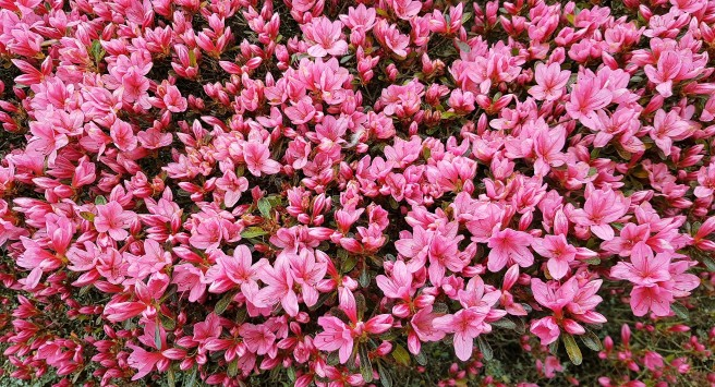 Bright pink flowers on a large shrub