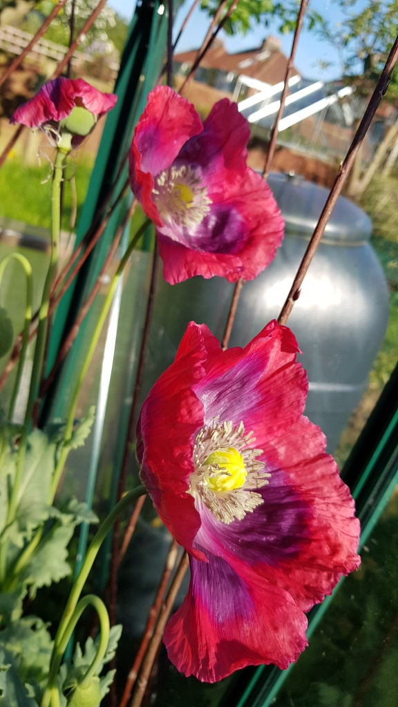 Red poppies with purple tinged petals and yellow centres