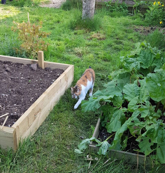 Tortoiseshell tabby and white cat walking on some grass between two wooden raised beds