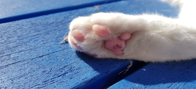 White cat paw with pink pads on a bright blue background