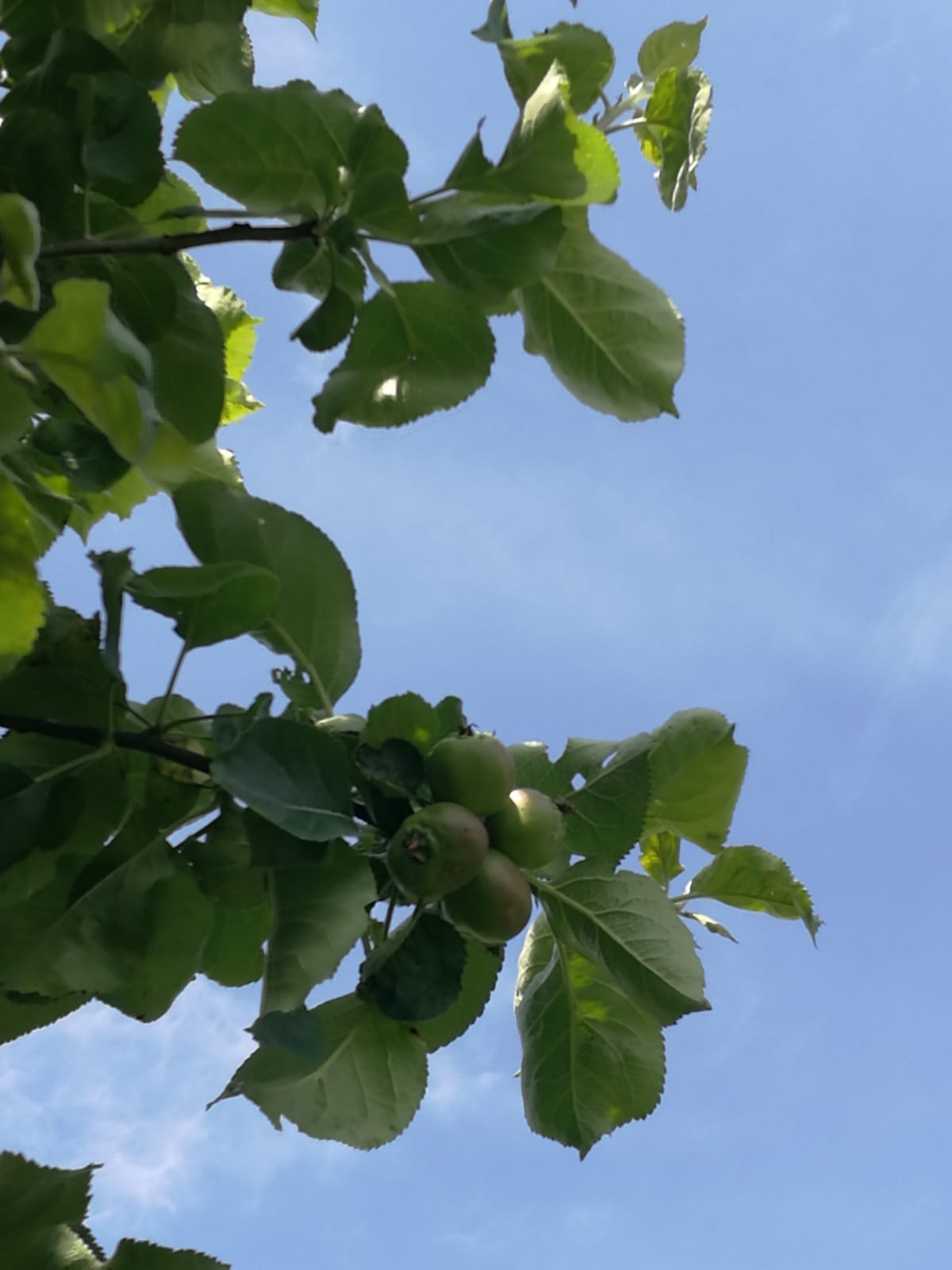 Small apples forming on the tree with a blue sky background