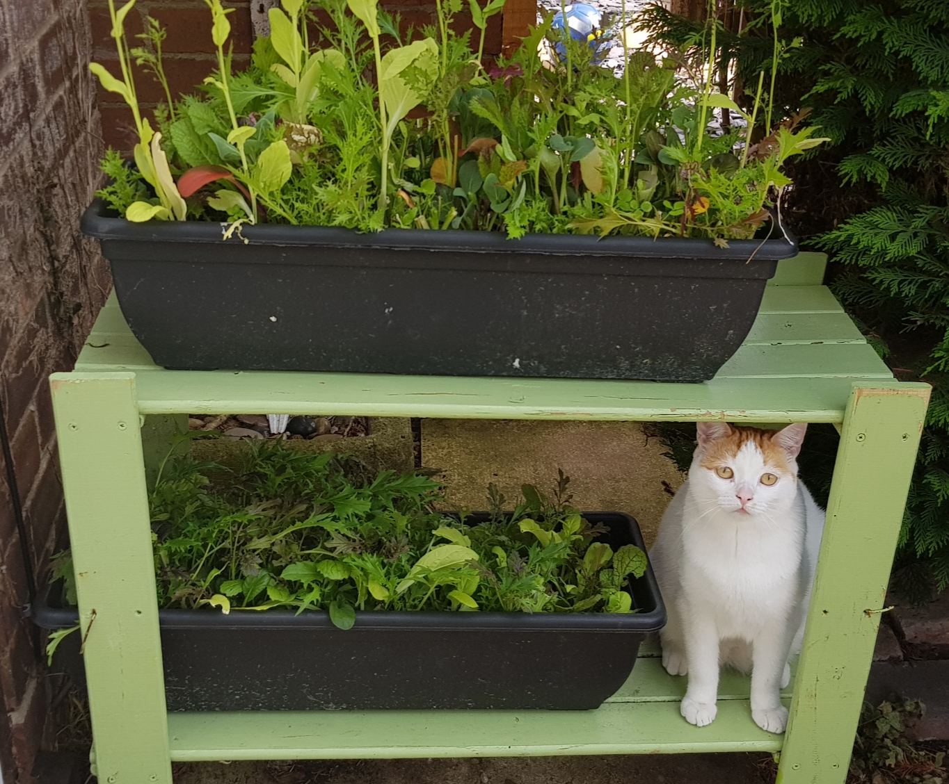 White and ginger cat sitting on a shelf outdoors next to a trough of salad leaves
