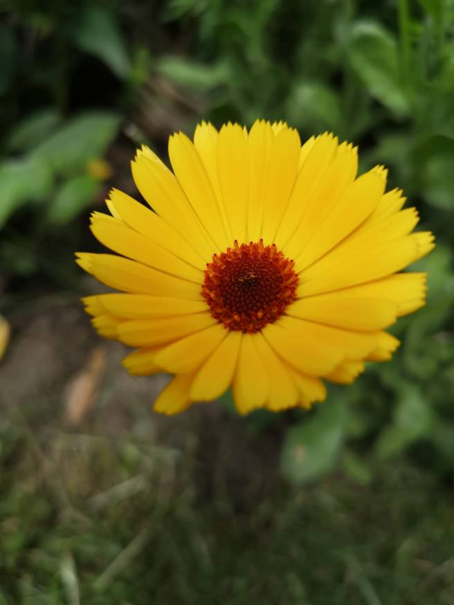 Yellow marigold flower with a deep bronze centre