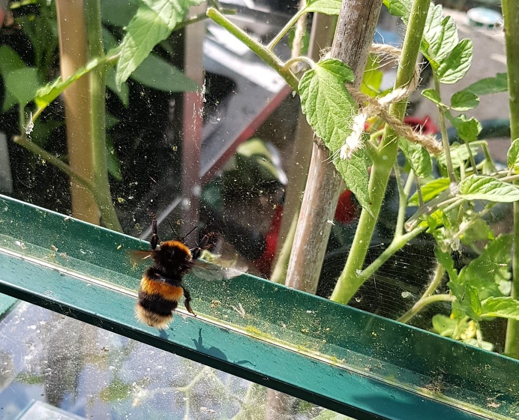 Bumblebee in a greenhouse