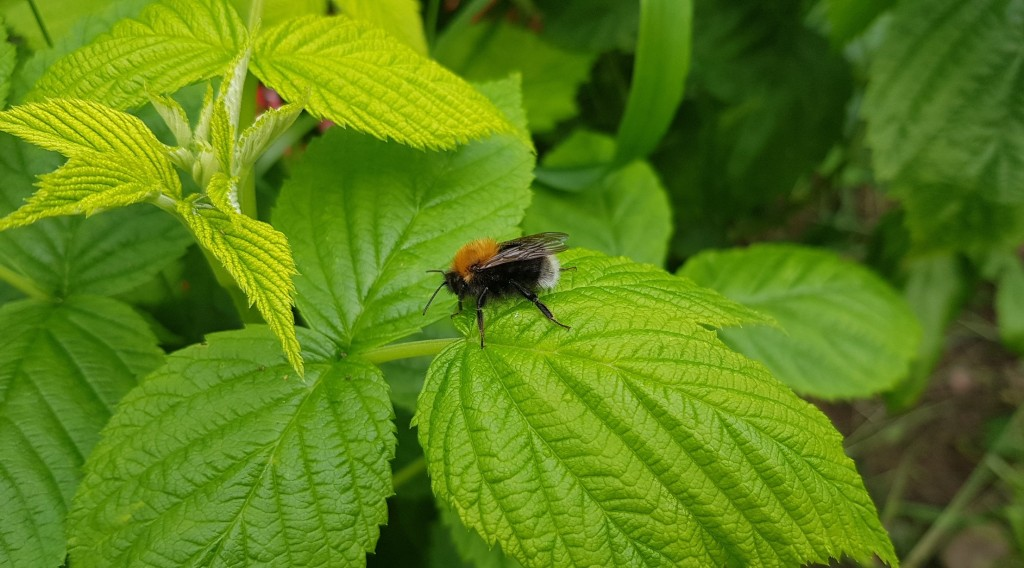 Bumblebee on a raspberry leaf