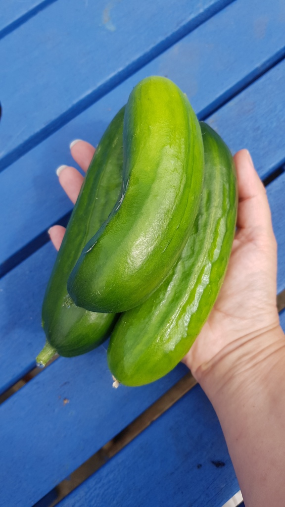 3 small cucumbers in a hand on a blue background