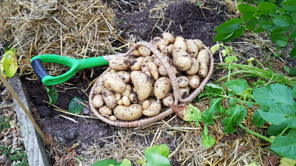 Basket of newly dug potatoes